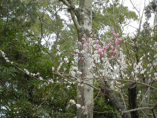梅の花 おもいのまま