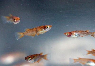 紅白めだかF1 透明鱗ブチ